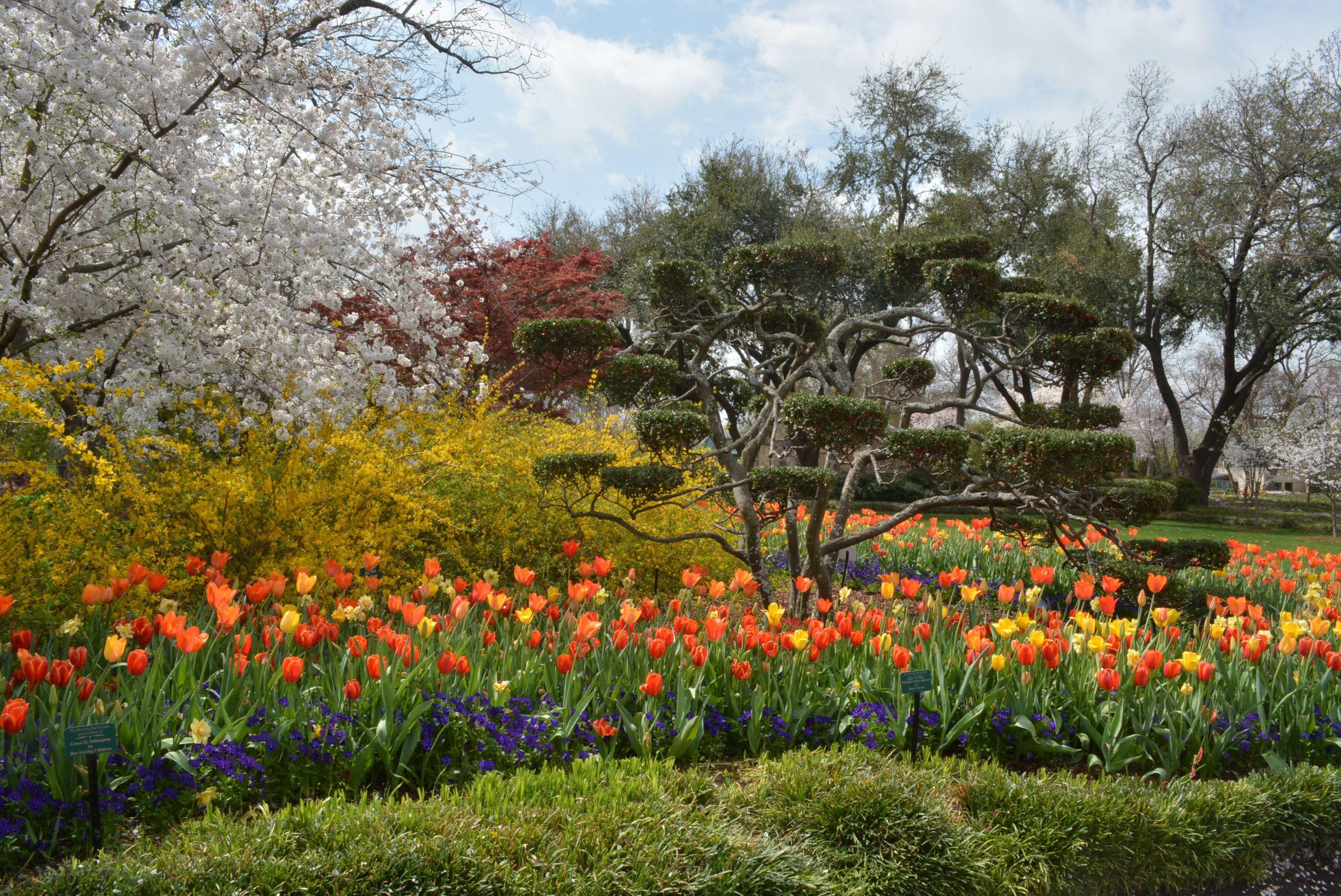 Cherry Blossom Trees, Dallas Blooms, 2014, The Dallas Arboretum ...