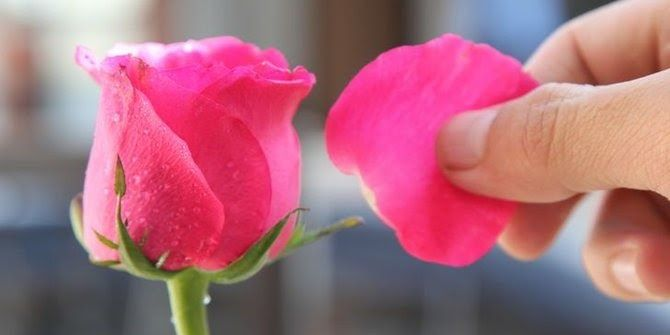 Gambar Bunga Mawar Dan Fungsinya Kelopak Mawar Bisa Dimakan Ini Manfaat Sehatnya Merdeka Com Bunga Pengertian Bagian Bagian Oshibana Bunga Menggambar Bunga