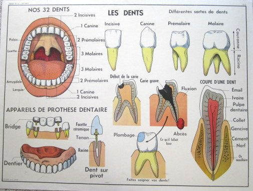 French Vintage School Poster Anatomy Dental Teeth Mouth Lungs ...