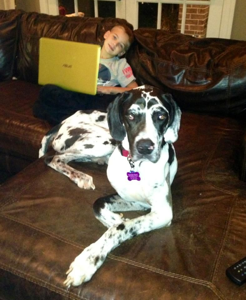 Adopt Sampson On Dane Dog Great Dane Rescue Great Dane Dogs