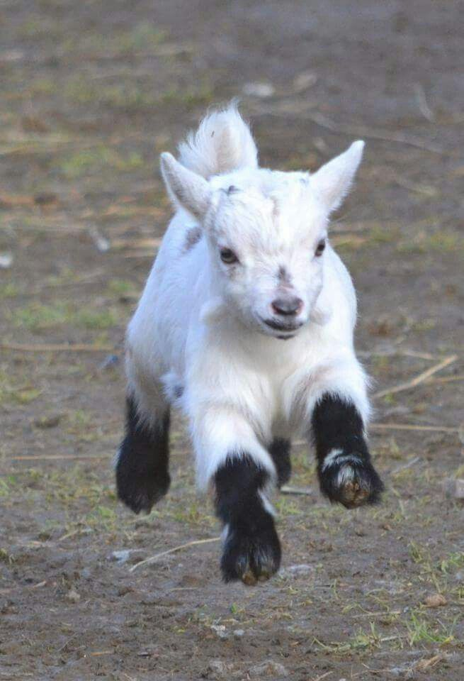 Image result for pygmy goat baby
