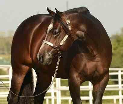 Apha stallion horse racing