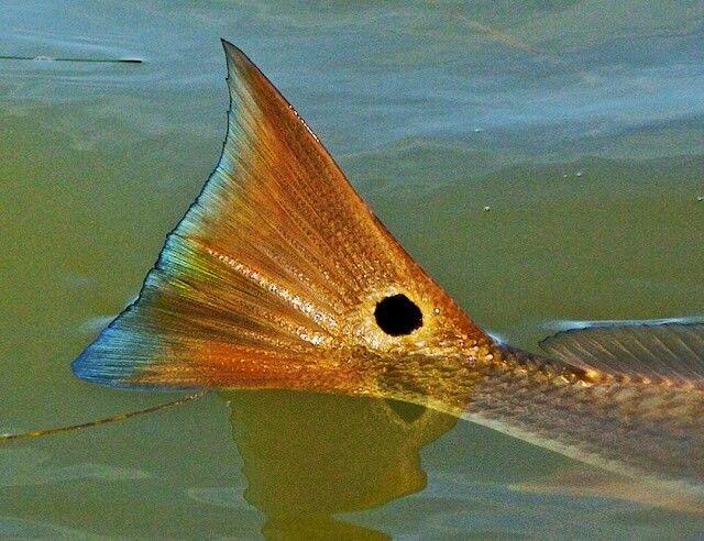 Tailing Redfish Fly Fishing Kayak Fishing Freshwater Fish