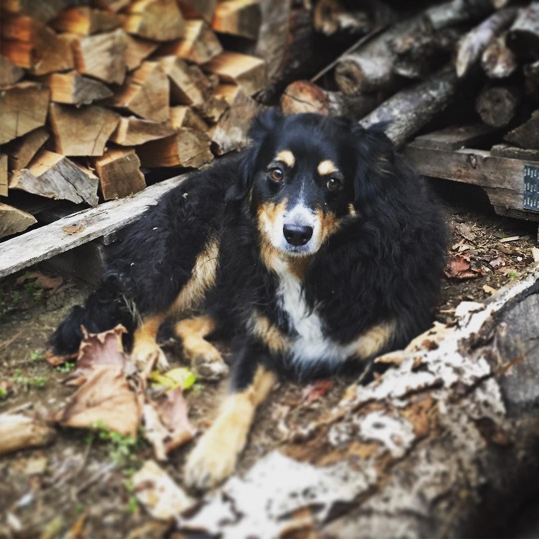 Kali of the kountry. @chelseaedwardson #vancouverisland #dog #aussieshepherdmix #logsplitting #cohens4life