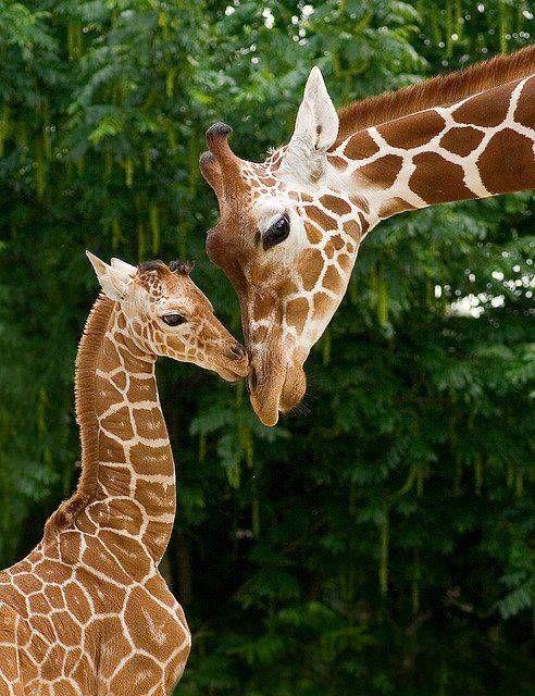 Mom and baby giraffe - Giraffes Picture Nursery ideas - griffe für küche