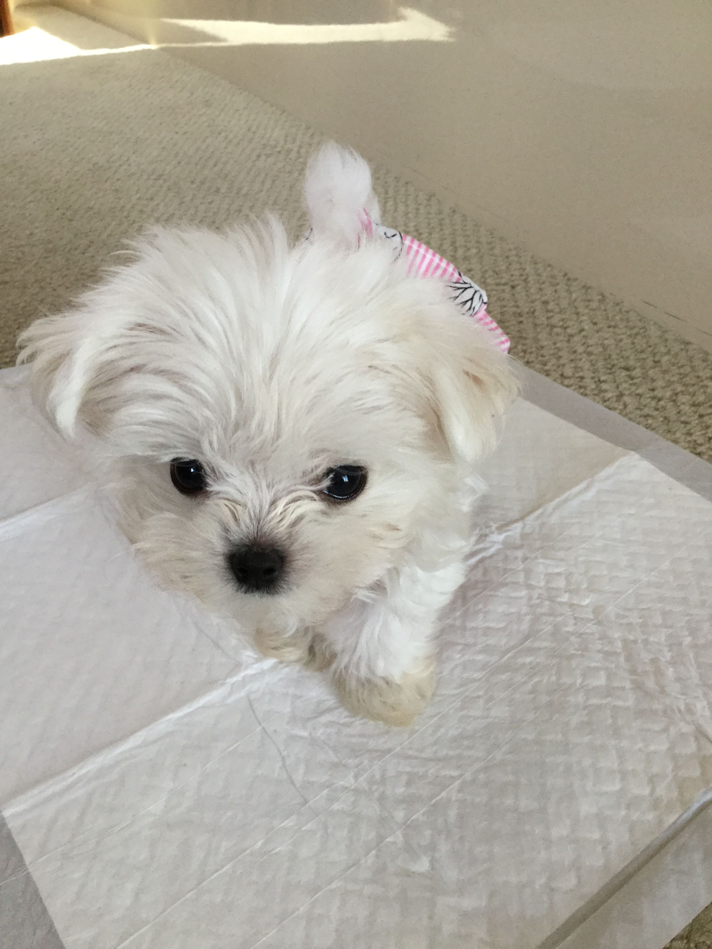 Stella Puppies Cute Dogs Maltese
