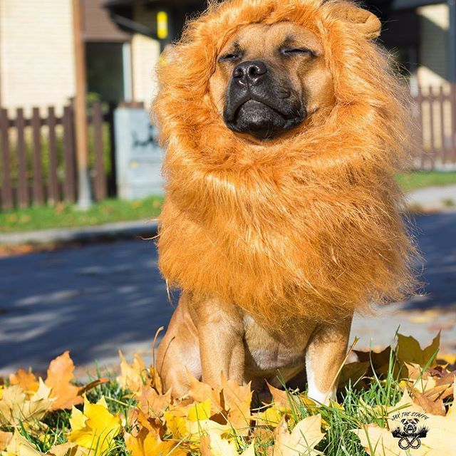 A Lion Is Called A King Of Beasts Obviously For A Reason At Least With The Lion S Wig I Caught The Eye Of This Area Pets Unique Animals Animal Costumes