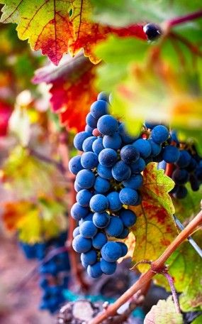 Grapes Mobile Wallpaper Red Grapes Grapes Napa Valley