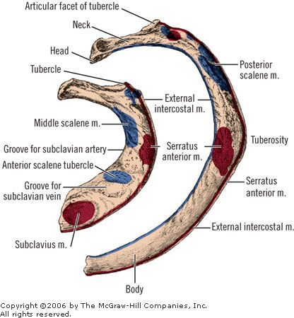General features and topographic anatomy of left first and second ...