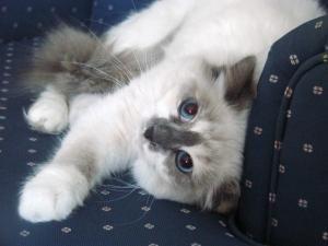 Adopt Echo On Petfinder Cute Animals Birman Cat Animals