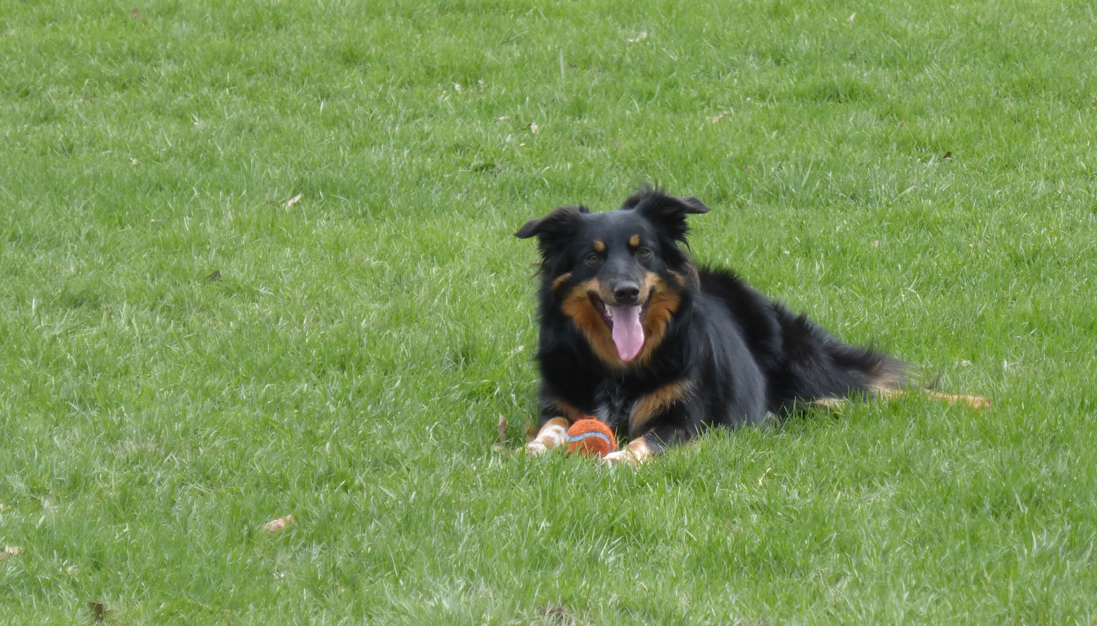 Piper Is Happy It Is Spring Even If There Is A Lot Of Rain Border Collie Pure Bred Collie