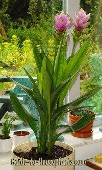 Curcuma Alismatifolia Bulbs Tropical Bonsai Perennial Flowers Rare Orange Plants
