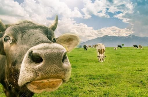 .cow's nose and far away cows