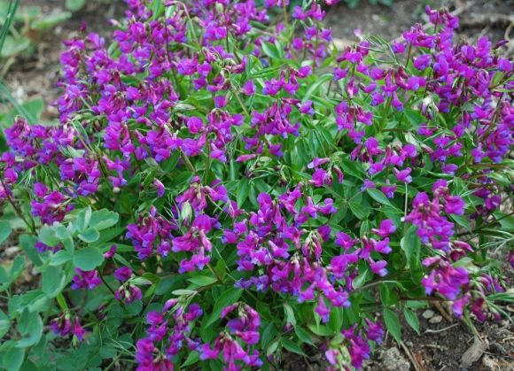 Lathyrus vernus spring vetch everlasting perennial sweet pea lathyrus vernus spring vetch everlasting perennial sweet pea small shrubby perennial that can act ephemeral non fragrant have this in drk purple and mightylinksfo