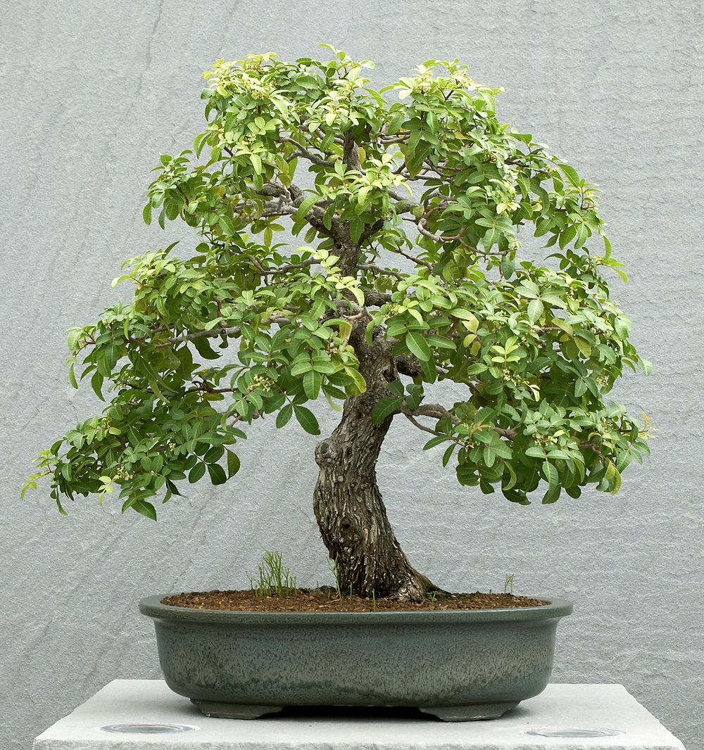 Brazilian Peppertree Schinus Terebinthifolia Bonsai Bonsai Art Japanese Bonsai