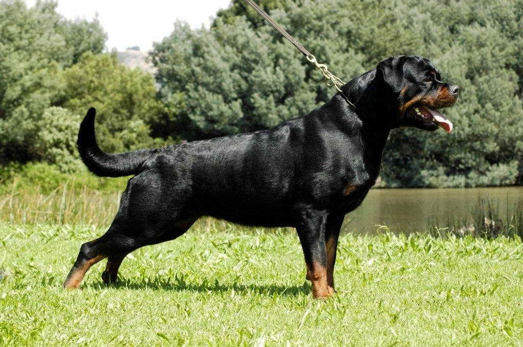 Adrk Rottweiler Puppies For Sale