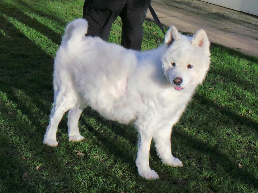 Adopt A Dog Murphy Samoyed Dogs Trust Dog Adoption Dogs