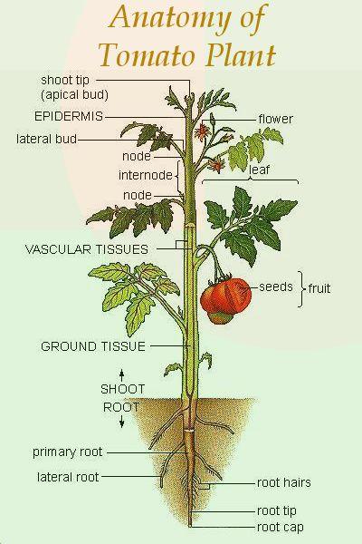 En esta foto se muestra la anatomía de la planta de tomate ...