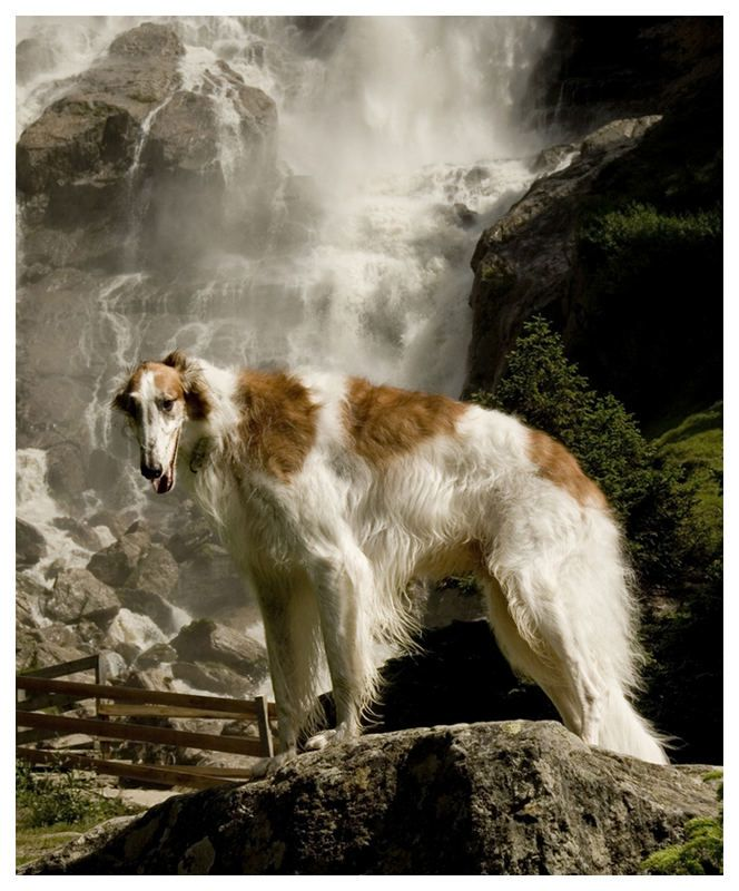 Barsoi Barsoi Schone Hunde Windhunde