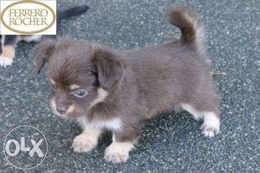 Quality Teacup Chihuahua For Sale Philippines Find New And Used