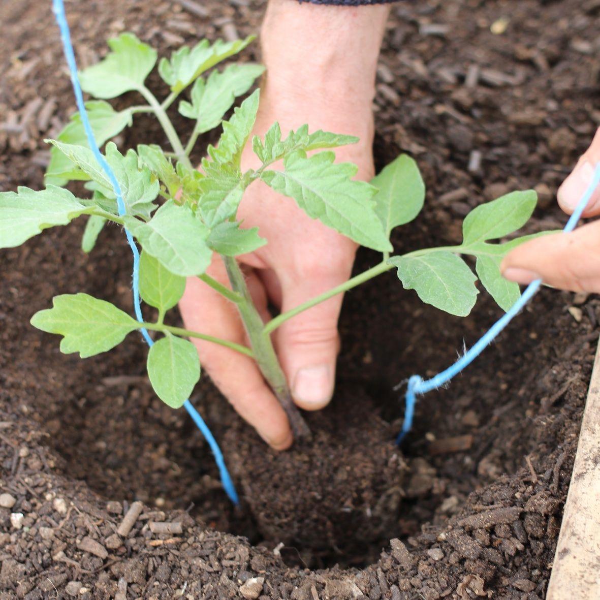Giris Domates Tek Yillik Bir Bitkidir Yaklasik 1900 Yillarinda Adana Da Yetistirilmeye Container Gardening Vegetables Tomato Seedlings Gardening For Beginners