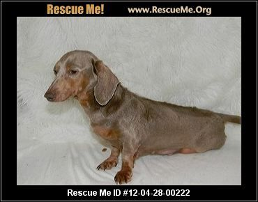 Delorian Louisiana Dachshund Rescue Adoptions Rescueme Org