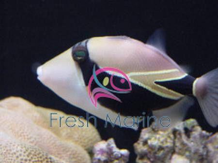 Rectangular Trigger Fish Rhinecanthus Rectangulus Rectangle Buy Cheap Reef Wedge Tail Triggerfish At Wholesale Marine Fish Marine Fish
