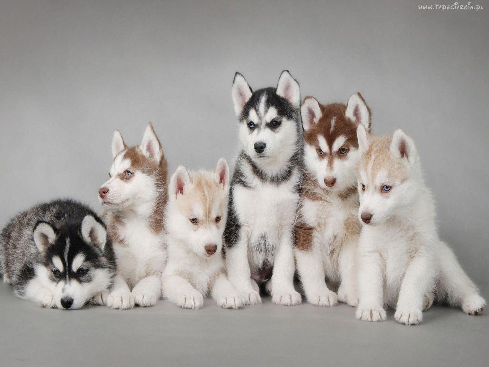 Every Color Husky With Images Puppies Siberian Husky Puppies