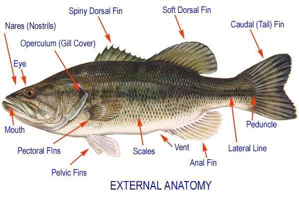 Gills Of Yellow Perch Diagram Example Electrical Wiring Diagram