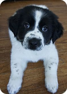 Dayton Oh Border Collie German Shepherd Dog Mix Meet Kurt A Puppy For Adoption Puppy Adoption Border Collie Dogs