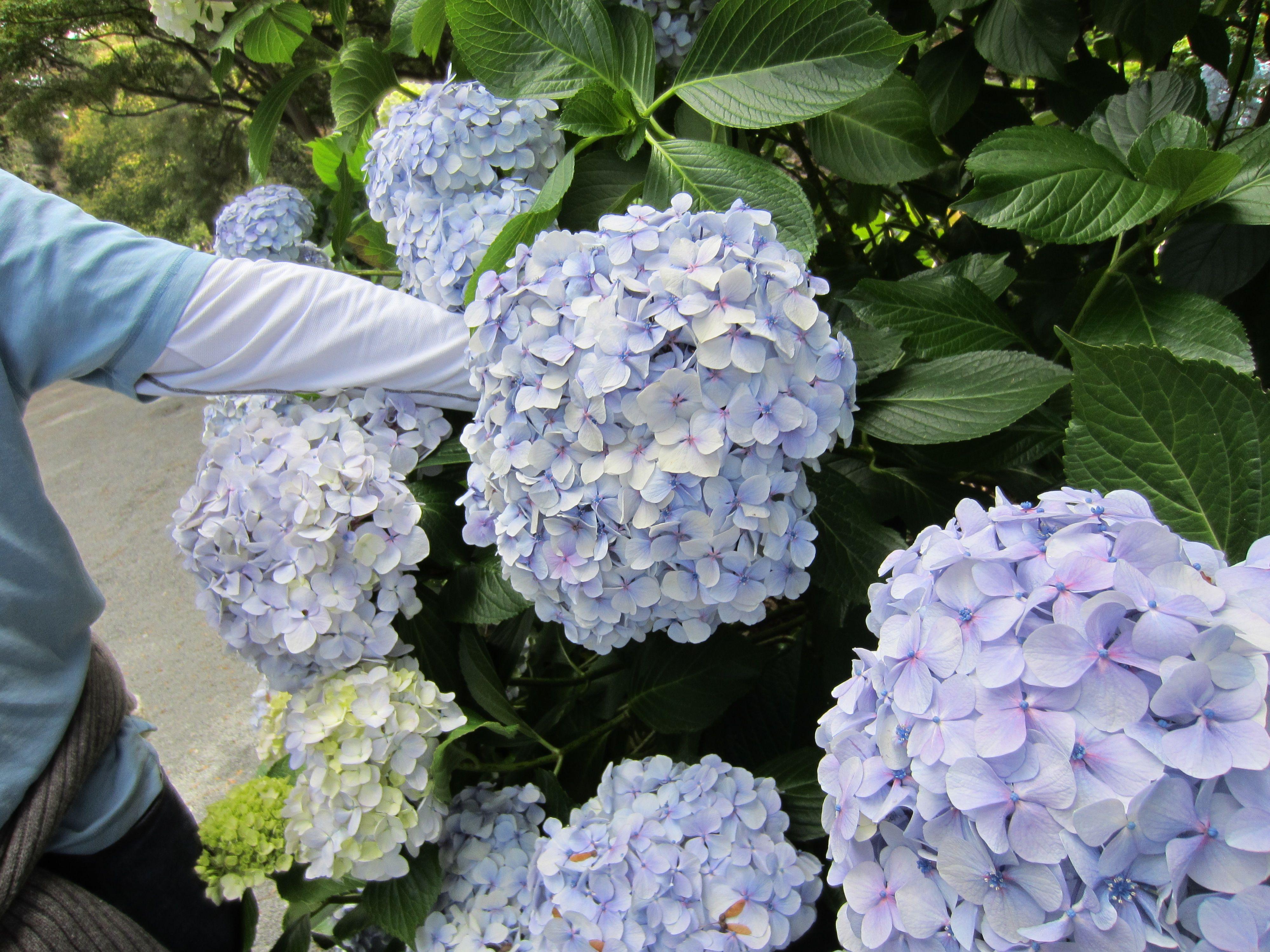Baby Blue Hydrangea In The Botanic Gardens Of Christchurch New Zealand Blue Hydrangea Botanical Gardens Botanical