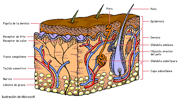 Resultado De Imagen Para Dibujo De Las 2 Grandes Capas De La Piel Con Glandulas Y Vasos Sanguineos Sentido Del Tacto Capas De La Piel Fisiologia