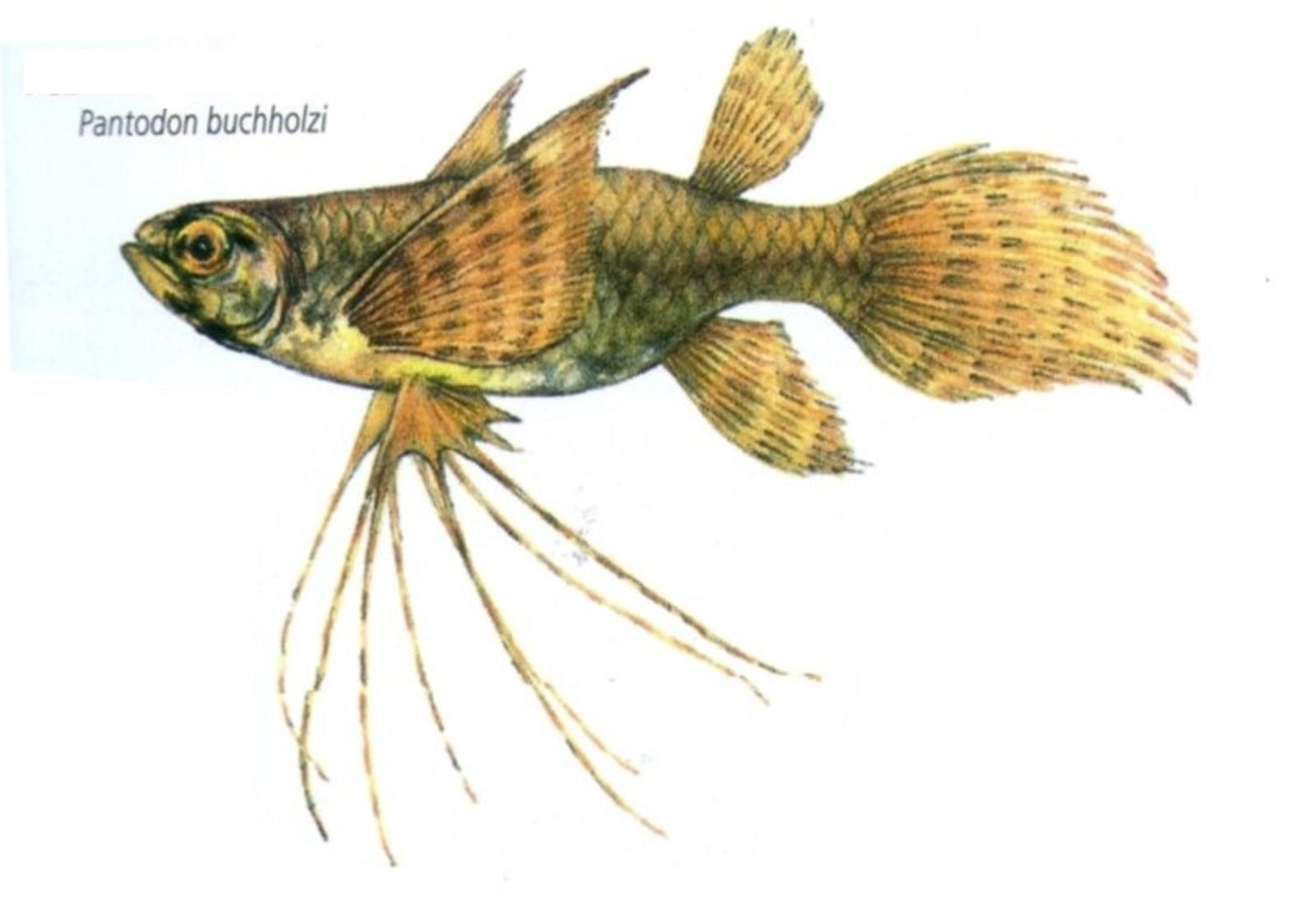 Art Illustration Lakes Freshwater Fish African Butterfly Fish Pantodon Buchholzi It Reaches A Maximum Size Butterfly Fish Illustration Art Cute Animals