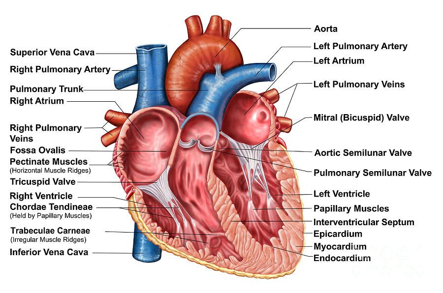1000 images about heart on pinterest models circulatory system  : interior heart diagram - findchart.co