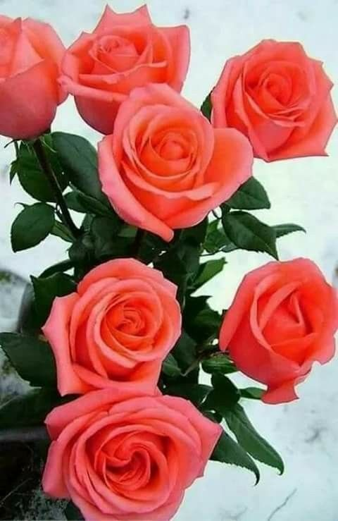 Rosas Hermosas Rosas Flores Rosadas Flor De Cactus Y Rosas