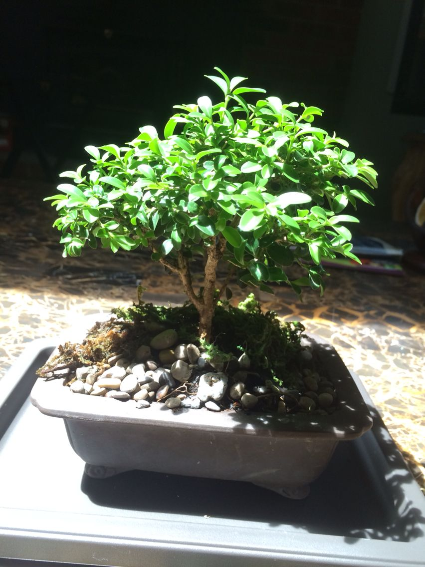 my first bonsai it needs trimming and wiring which will be done rh pinterest com