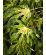 Camouflage™ Variegated Japanese Aralia (Fatsia japonica 'Variegata' Camouflage™) - Monrovia - Camouflage™ Variegated Japanese Aralia (Fatsia japonica 'Variegata' Camouflage™)