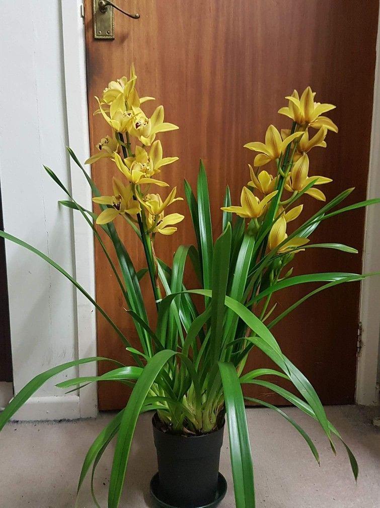 My Golden Yellow Cymbidium Orchid Cymbidium Orchids Care Orchids Cymbidium Orchids