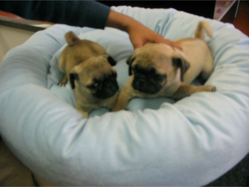 Pug Puppies For Sale In Ny World Wide Pups Puppies Pinterest