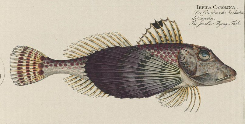 """Michelle Marshall on Twitter: """"I really like this image of a common #SeaRobin. Probably because its taxon has Carolina in the name! #ichthyology https://t.co/C5I0bY5c74"""""""