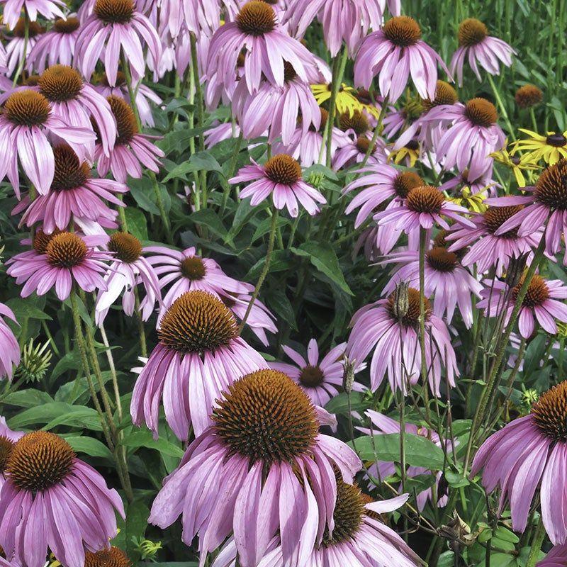 Pale Coneflower Seeds In 2020 Wildflower Seeds Echinacea American Meadows