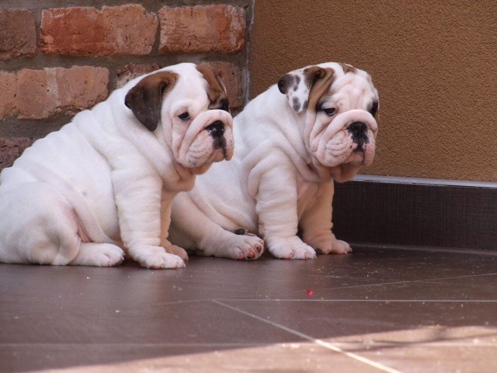 Pin By Jennifer Platt On Buldog Ingles English Bulldog Puppy