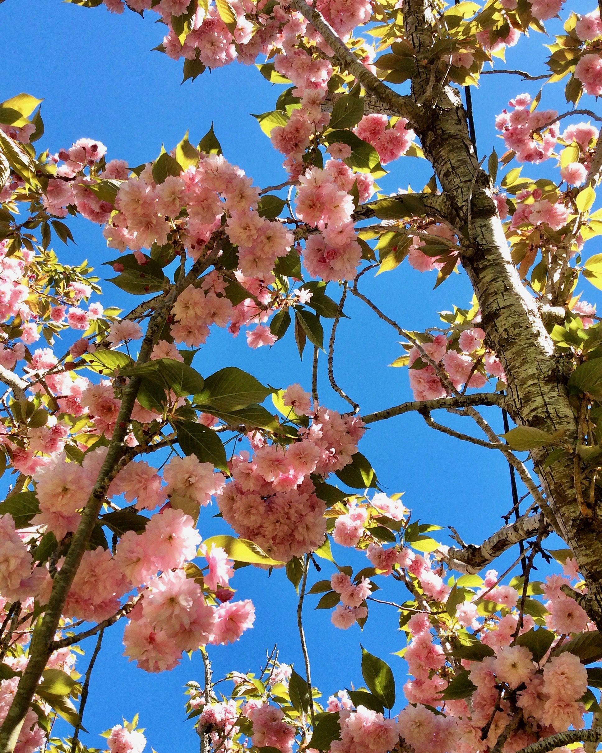 Cherry Blossom Adelaide Hills Australia Blossom Spring Flowers Instagram