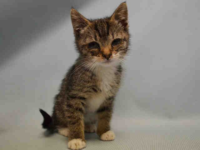 Manhattan Center Munchkin A1074307 Must Be Pulled By A New Hope Rescue Female Brn Tabby Domestic Sh Mix 6 Cat Adoption Kittens Cutest 6 Week Old Kitten