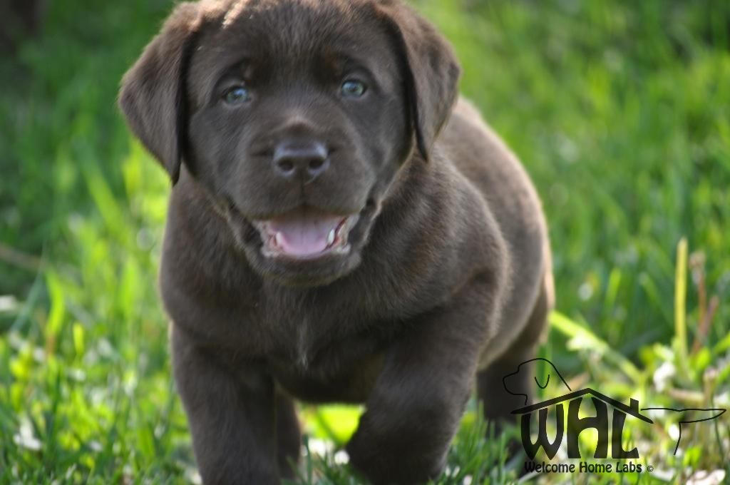 Dark Fox Red Working Labradors Labrador Puppies For Sale Labrador Puppy Labrador