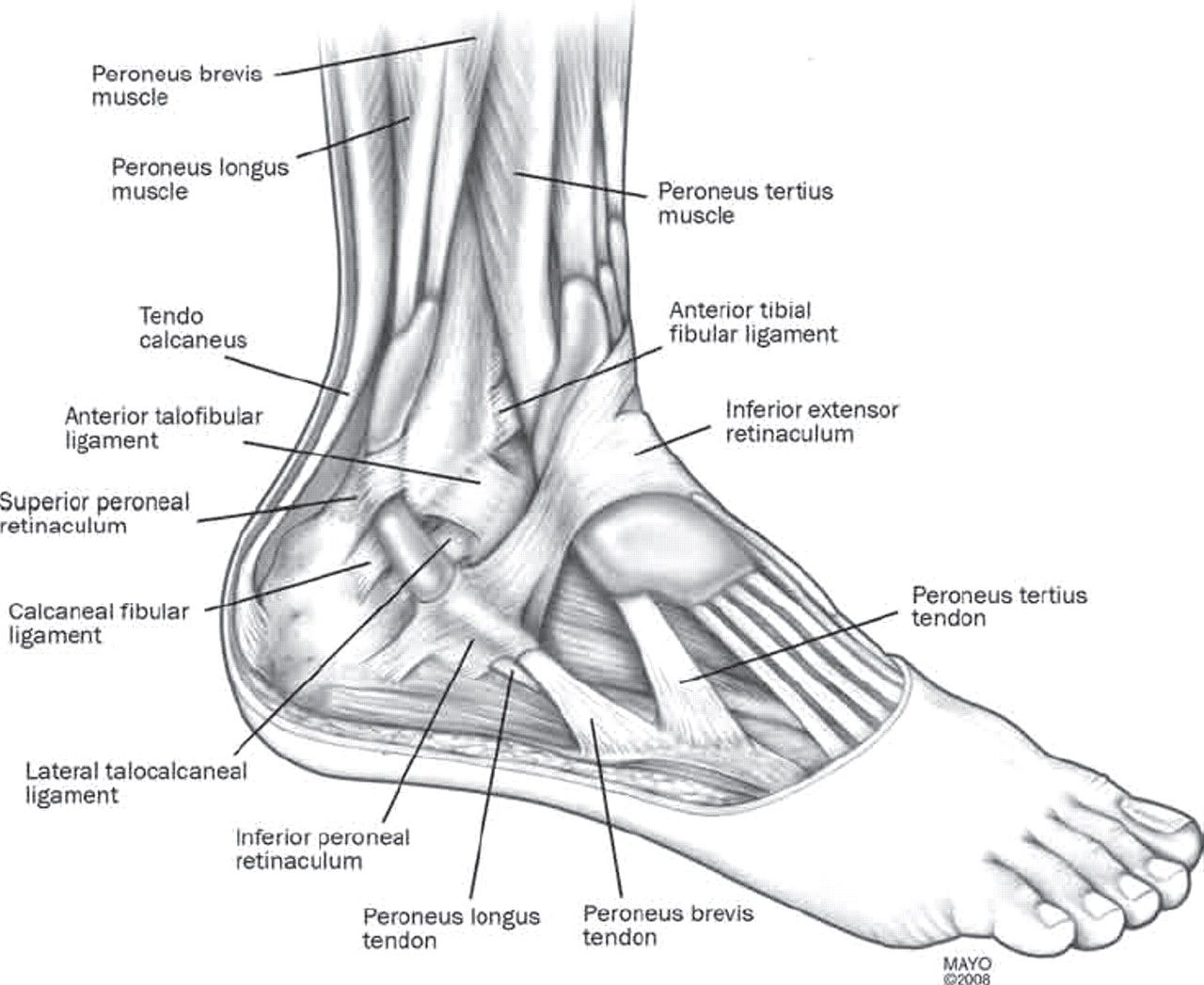 human foot diagram
