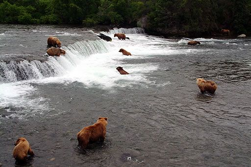 Grizzly bears fishing for salmon brooks falls katmai national park grizzly bears fishing for salmon brooks falls katmai national park kodiak island alaska fandeluxe Gallery