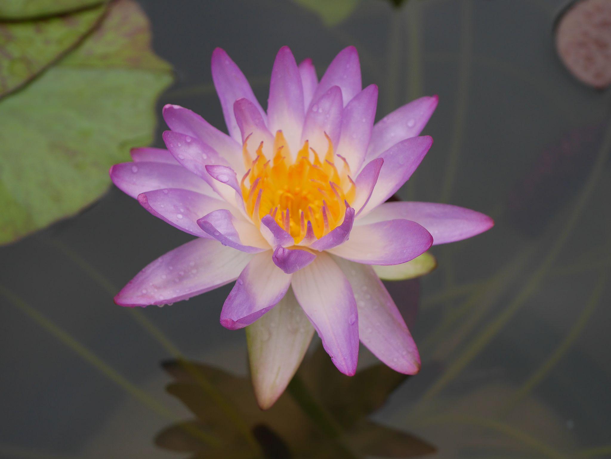 Nymphaea 'Siam Purple 1' ISG Waterlilies 5 Water lilies