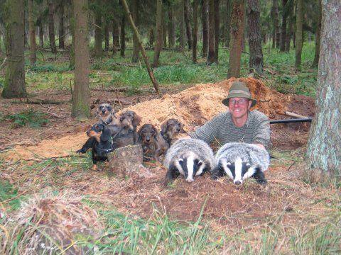 German Raccoon Dog Badger And Raccoon Hunting Weenie Dogs