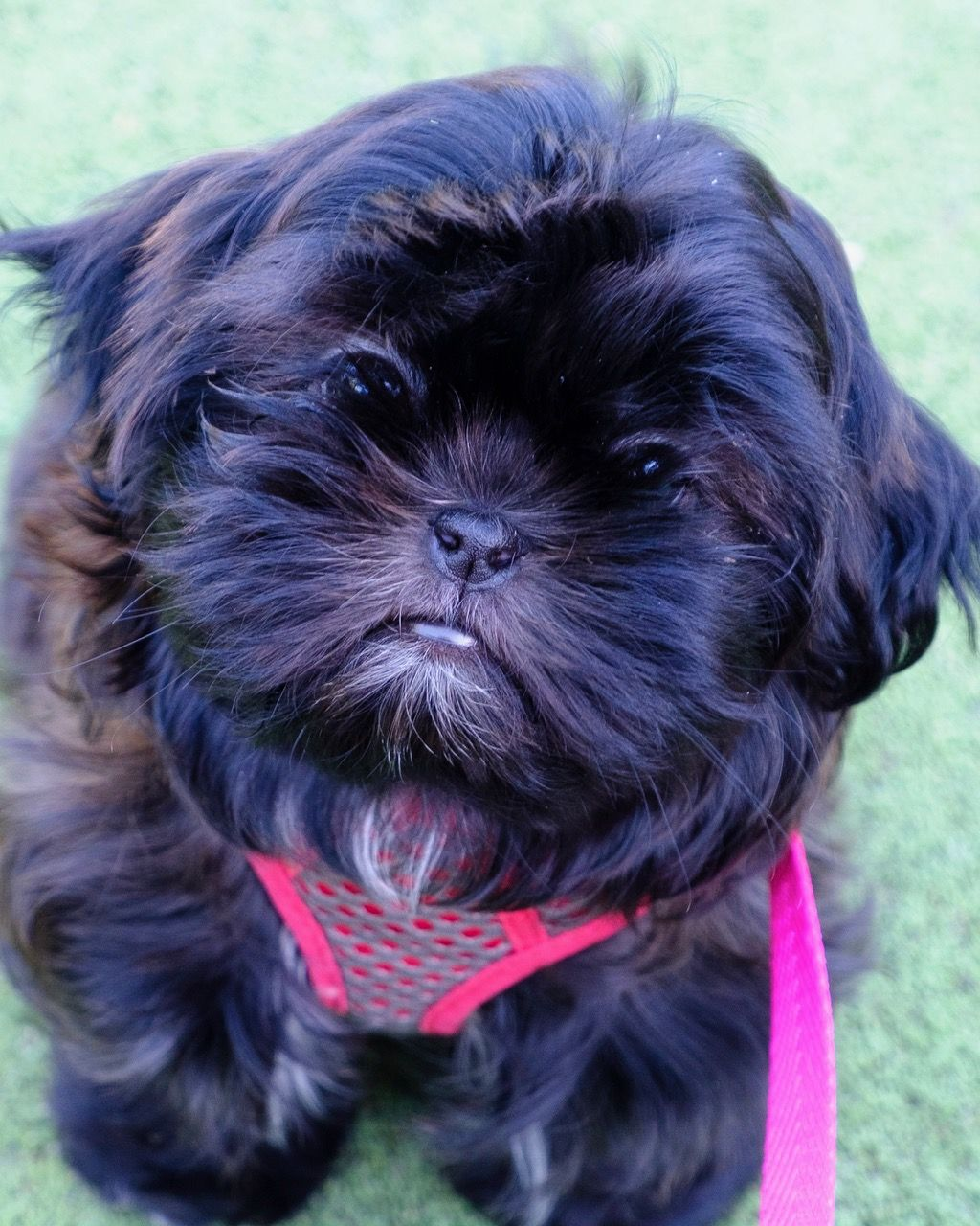 Mckensie Is A Black Shih Tzu Turning Silver Blue From Glory Ridge